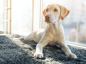 Blonder Labrador-Welpe liegt auf einem grauen Teppich vor dem Fenster